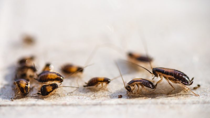 How Quickly Do Cockroaches Multiply