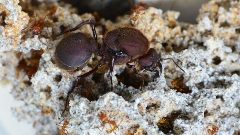 How to Get Rid of a Queen Ant