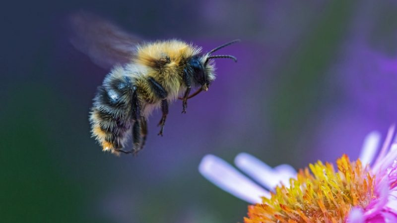 What Is Special About Bumblebees