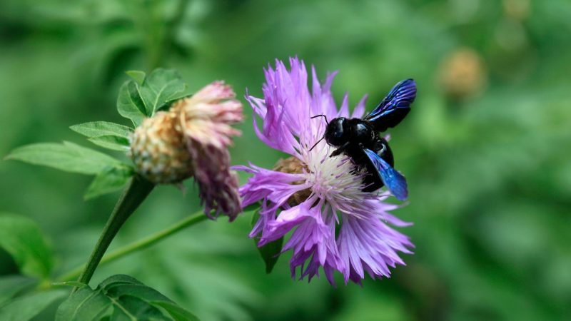 What Is Special About Carpenter Bees