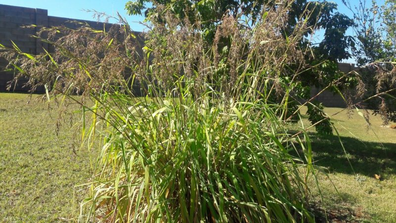 What Is a Citronella Plant