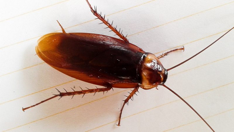 What Is the Maximum Lifespan of a Cockroach