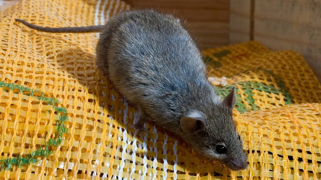 What to Do if You Found a Mouse in Your Room