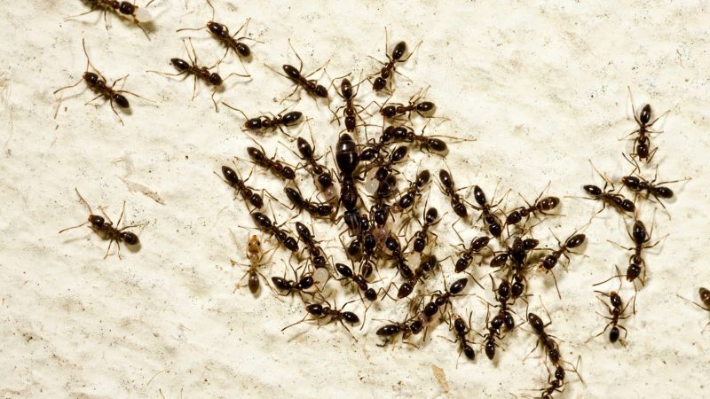 Why Do Ants Kill Their Queen
