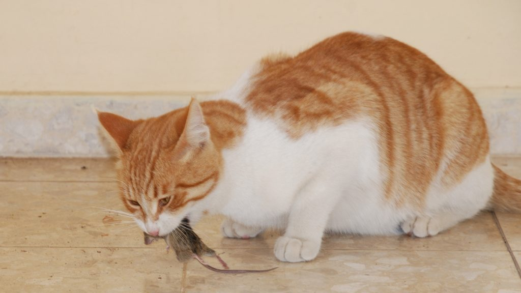 Will Mice Leave if They Smell a Cat